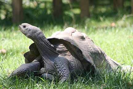Click here to watch a video about the Tortoise at Peoria Zoo!