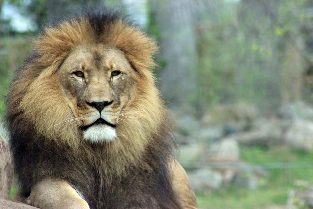 Click here to watch a video about the Lions at Peoria Zoo!